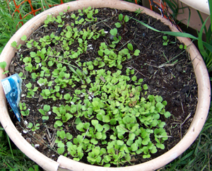 Arugula in a planter at off-grid camp