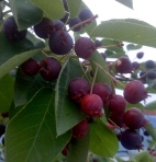 Serviceberries, service berry