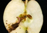 Codling Moth in worm hole in an apple